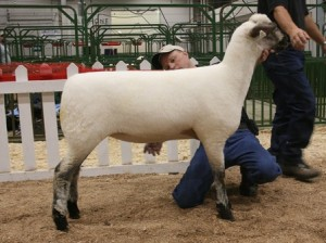 Apple 09-5 1st Place Early Jr. Ewe Lamb