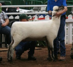 Apple 12-20 Yearling Ewe