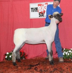Apple 13-18 2014 Ohio Showcase Sale 2nd Place Yearling Ewe