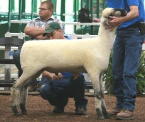 Apple 13-23 Late Jr. Ram Lamb