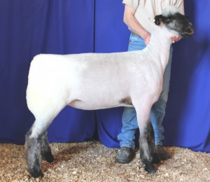 Apple 14-14 NNP QR Yearling Ewe