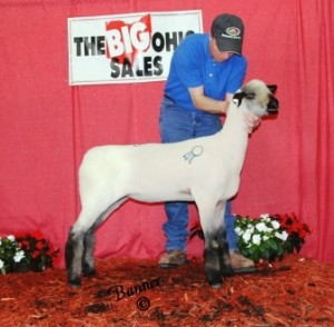 Apple 14-5 2014 Ohio Showcase Sale Reserve Champion Ewe