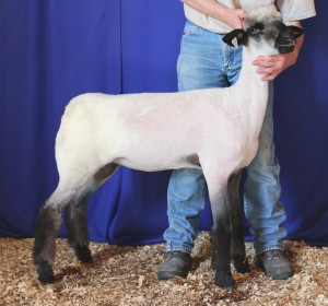 Apple 15-27 NNP QR Late February Ewe Lamb