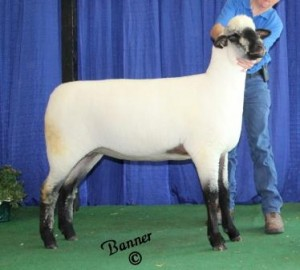 Apple 14-9 4-H Champion Oxford Ewe