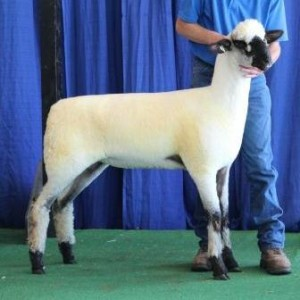 "Apple 15-18 NNP QR ""Gus"" Daughter 1st Place Late Ewe Lamb"