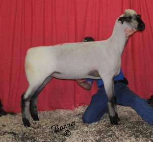 Apple 15-24 2nd Place Yearling Ewe