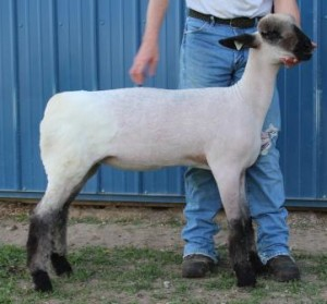 Apple 16-42 March Ewe Lamb